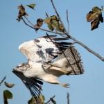 Ratonero-blanc-14-11-2013-N