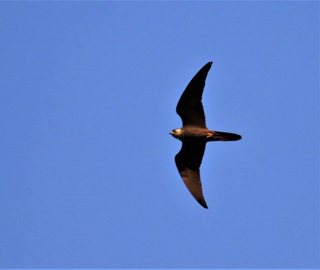 La imagen tiene un atributo ALT vacío; su nombre de archivo es Falco-Eleo-26-06-2020_MG_8412-1024x865.jpg