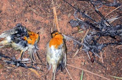 Petirrojos (Erithacus rubecula) capturados en parany.