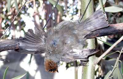 Curruca capirotada (Sylvia atricapilla) capturada en parany.