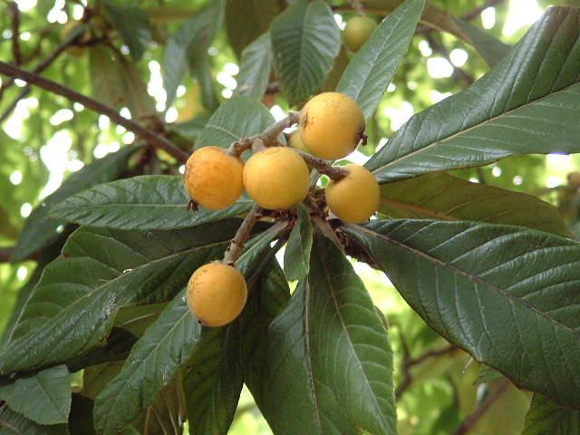 Nispero del japon for Arboles de hoja perenne para jardin