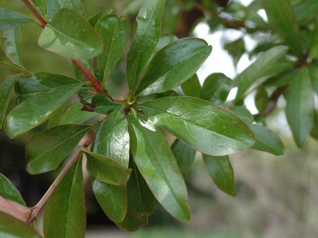 identificar mi bonsai Hojagranado