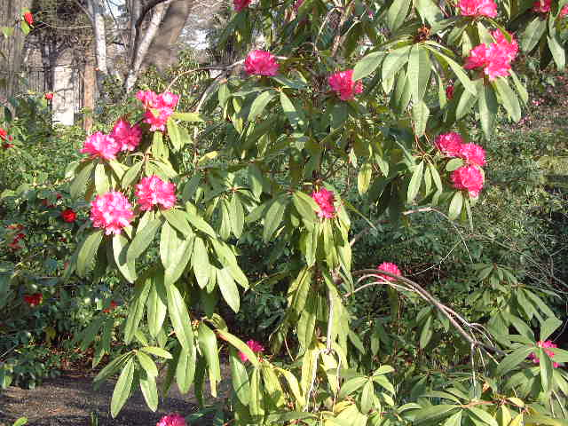 rododrendo azaleia arborea